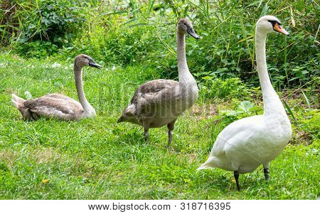 Swan Family On The Grass By The Pond