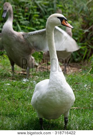 Two Swans One Is Standing Second One Winds Wings