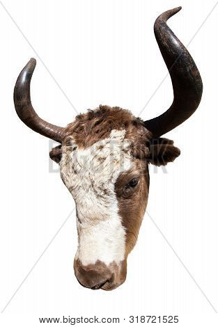 Brown And White Yak In Latin Bos Mutus Isolated On White Background, Detail Of Head, Yak Is A Farm A