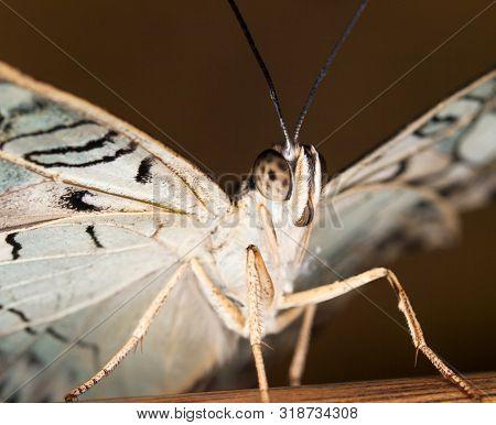 Tropical Owl Butterfly - Caligo Memnon - Detail