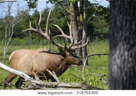 King Of The Forest.the Elk  On Meadow.the  Wapiti (cervus Canadensis) Is One Of The Largest Species