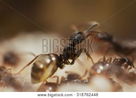 Ants At The Nest. Macro Shot Of Black Ants In The Anthill. Lasius Niger Ants