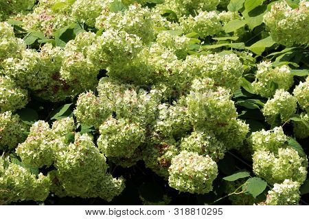 Densely Planted Bunches Of Light Green Flowers Of Hydrangea Or Hortensia Garden Shrub Fully Open Blo