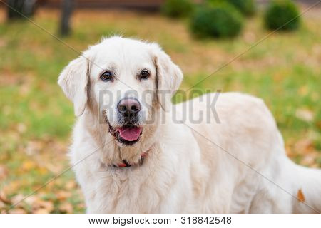 Dog Breed Golden Retriever On A Walk