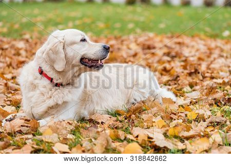 Dog Lies On Yellow Leaves In Autumn Park