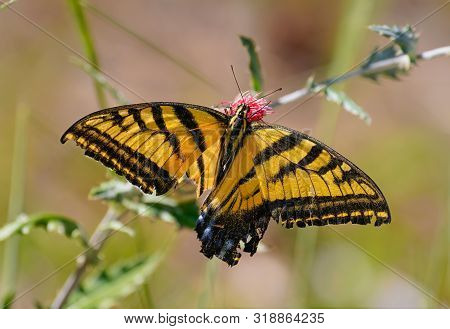 A Double Swallowtail Butterfly Drinking Pollen From A Desert Flower. His Lower Wings Have Been Badly