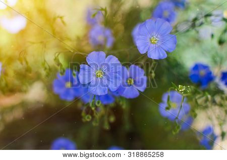Blue Forget-me-not Flowers Lat.myosotis In The Garden