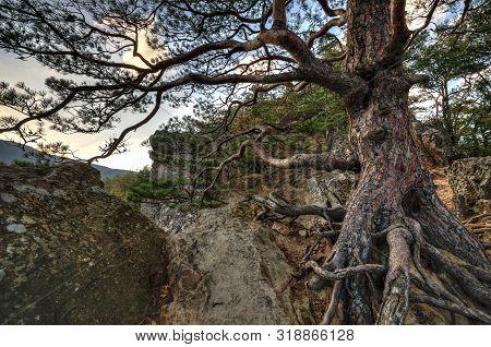 Old Rooty Pine Tree At Plancheskiye Rocks, Seversky District, Krasnodar Region, West Caucasus, Russi