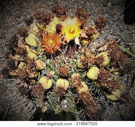 Corona Flores Cactus Crecimiento Radial Desierto Chile Sudamerica