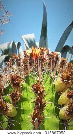 Cactus En Floraciòn Desierto Chileno Reproduccion Naturaleza