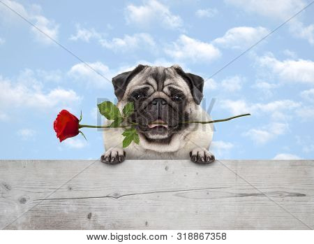 Frolic Cute Smiling Pug Puppy Dog With Red Rose In Mouth, With Paws On Wooden Fence Banner, With Blu