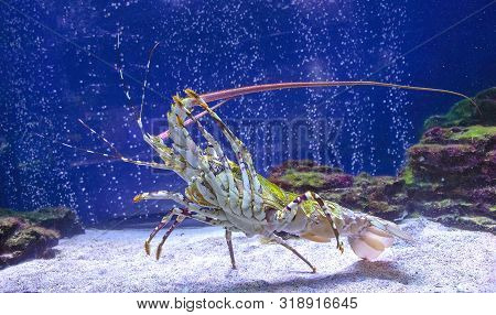 Caribbean Spiny Lobster Climbed Up Shows The Lower Part Of The Body.panulirus Argus. Spiny Lobster I