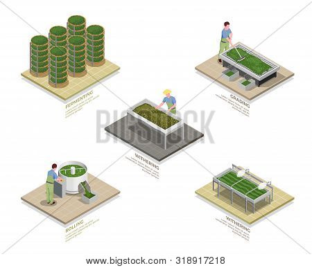 Tea industry production process 5 isometric infographic elements set with withering rolling oxidizing fermentation isolated vector illustration poster