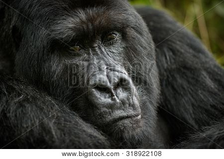 Wild Mountain Gorilla In The Nature Habitat. Very Rare And Endangered Animal Close Up. African Wildl