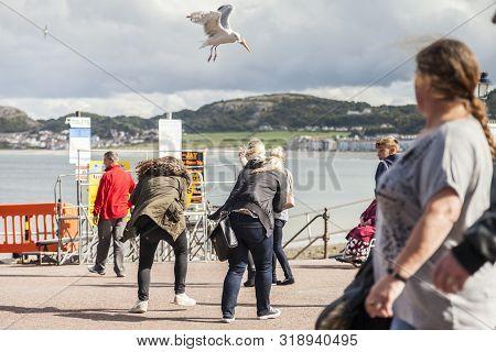 Llandudno, Wales, Uk- September12th, 2015 : Gulls Steal Food From Unsuspecting Tourists On Llandudno