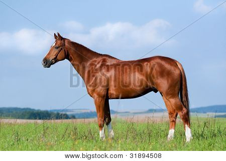 poster of Chestnut horse in field - conformation