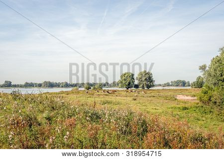 Red And White Cows Grazing On The Floodplains Of The Dutch River Waal Near The Village Of Vuren, Gel