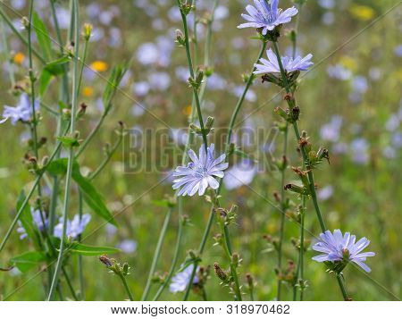 Common Chicory Field. Cichorium Intybus In Blossom. Field Of Wild Herbal Plants