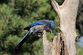 Scrub Jay on an old tree in forest poster