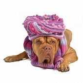 Big dog wearing hat and scarf isolated on white poster