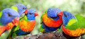 Australian rainbow lorikeets. Australia beautiful birds kissing on branch poster