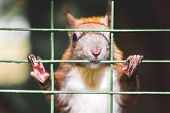 Squirrel in the iron cage asking for freedom. Cruelty to animals poster