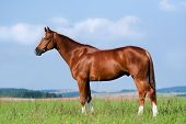 Chestnut horse in field - conformation poster