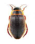 The great diving beetle (Dytiscus marginalis) isolated on a white background. poster