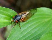 17 year cicada shell on a green leaf. poster