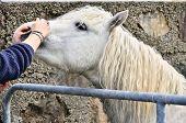 Connemara pony, Ireland poster