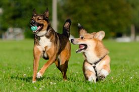 Young Energetic Welsh Corgi Pembroke Is Playing With Half-breed Dog. Corgi With A Long Tail. How To