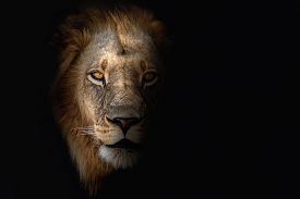 African Lion Portrait In The Beautiful Nature Habitat. Wild Animal In Africa. African Wildlife. This