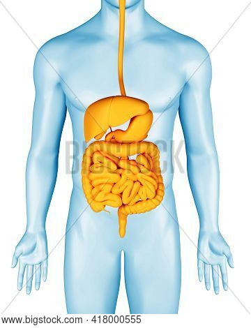 Digestive System On Man Anatomical 3d Body Illustration. Stomach, Intestines And Other Internal Orga