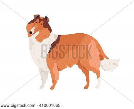 Dog Of Collie Breed Standing On White Background. Hairy Doggy With Shaggy Coat. Friendly Purebred Pe