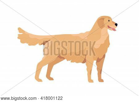 Golden Retriever Standing With Tongue Hanging Out. Happy Dog With Wavy Coat. Friendly Purebred Doggy