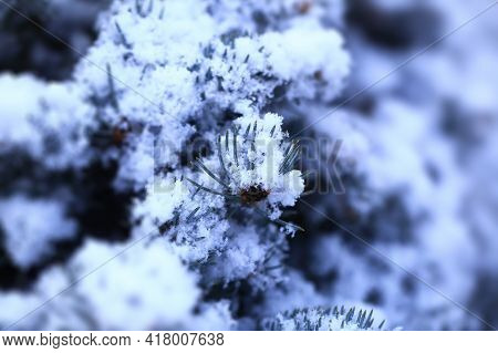 Flakes Of Snow On Branch. Selective Focus Of Snowflake On Tree During Winter, Shallow Depth Of Field