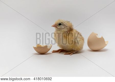 Chicken And An Egg Shell On White Background.newborn Yellow Chicken With Eggshell