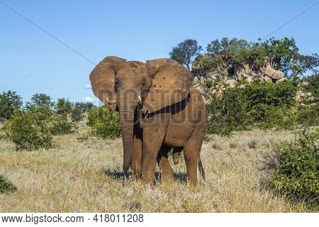 African Bush Elephant Walking In Boulder Scenery In Kruger National Park, South Africa ; Specie Loxo
