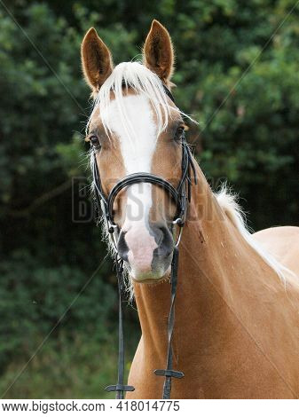 A Head Shot Of A Chestnut Horse With Blonde Mane In A Snaffle Bridle.