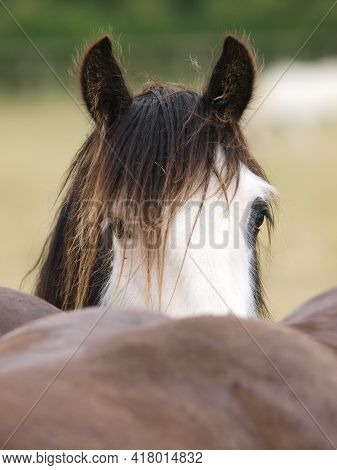 A Head Shot Of Pretty Gypsy Cob Peeping Over Another Horse.