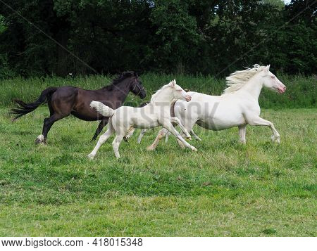 A Small Herd Of Horses Including A Mare And Foal Gallop Through A Paddock.