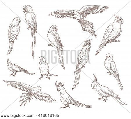 Hand Drawn Sketches Of Parrots. Vector Set Of Exotic Birds: Cockatoo, Macaw, Ara. Illustrations Draw