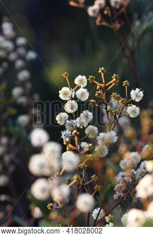Australian Woodland Scene Of Yellow Flowers And Buds Of The Australian Native Sunshine Wattle, Acaci