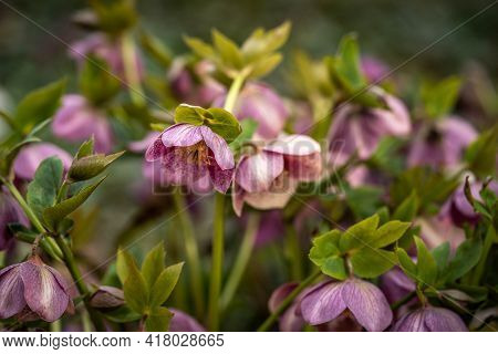 Blooming Pink Helleborus In The Park, Spring Day