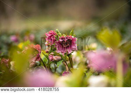 Fabulous Bloom Of Helleborus In The Park