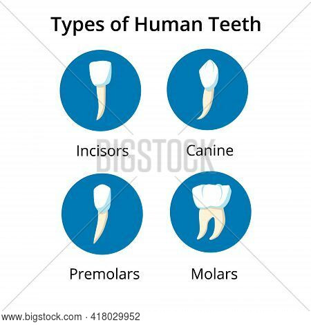 Illustration If Human Tooth Types. Good For Medical Banner Or Poster. Vector Isolated Elements.