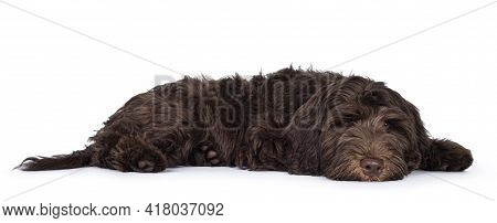 Adorable Dark Brown Cobberdog Aka Labradoodle Pup, Laying Down Side Ways With Head Down. Looking Tow