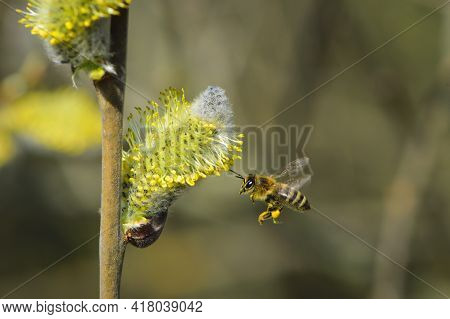 The Bee Is Flying, Bee Collects Pollen. Willow Branch With Yellow Spring Flowers. Delicate Willow Fl