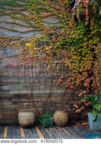 Yellow Green  Ivy Climbing On Wood Fence. Creeper Plant On On Wooden Wall Of House. Ivy Vine Growing