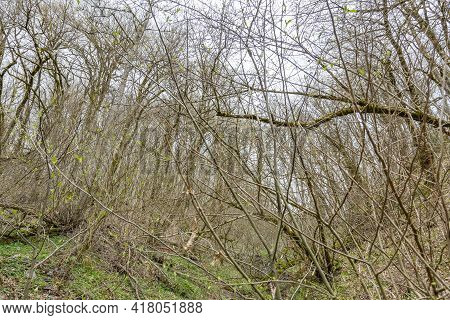 Impenetrable Spring Forest On A Hillside At Daytime